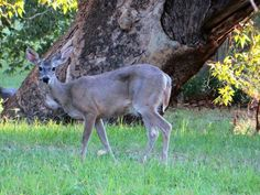 A deer on Fort Huachuca from Facebook.