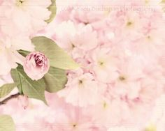 pink cherry blossoms..