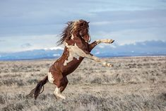 The young band stallion, Splaash, strikes a pose when confronted with a group of bachelor stallions getting too close to his mares. Cody Wyoming, Wild Mustangs, Heart Images, Wildlife Nature, Wild Horses, Wild Hearts, Strike A Pose, Bald Eagle, Mammals