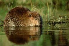 American Beaver: The Dam Builders: American Beaver - <i>Castor canadensis</i>