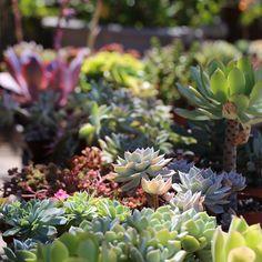 lush collection of garden succulent plants