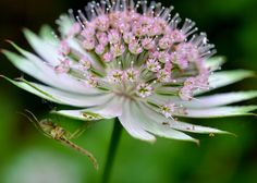 Wellcome Allotment        : Tufted or Brush Horned Gnat