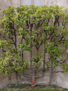 lovely espaliered tree