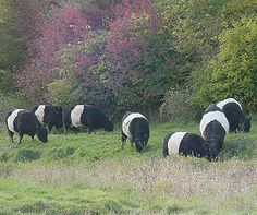 Belted Galloway Cattle Breed are naturally lean.  Naturally low fat beef.  Healthier beef and tastes great!  High in Omega 3 and really cool looking!