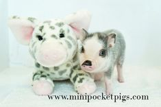 Home - Mini Pocket Pigs Guinea Pig Care, Guinea Pigs, Mini Pigs For Sale, Pocket Pig, Pig Showing, Teacup Pigs, Show Cattle, Showing Livestock, Indoor Pets