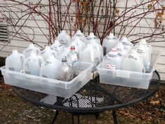 Winter sowing seeds outdoors in milk jugs