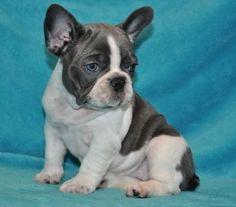 Annonce chien, chiot, Bordeaux (33000) - WA149941232
