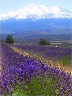 Fields of Lavender by with Mount Shasta in the background, California Lavender Fields, Lavender Flowers, Purple Flowers, Wild Flowers, Lavander, Lavender Blue, Lavender Garden, Beautiful World, Beautiful Places