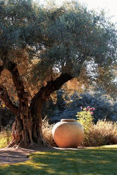 Rudd Oakville Estate, Napa Valley California photo: Shaun Sullivan Garden Design Magazine Olive tree and clay pot. Garden Trees, Garden Pots, Landscape Design, Garden Design, Mediterranean Garden, Olive Tree, Parcs, Dream Garden, Big Garden