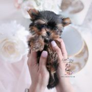 Toy Or Teacup Yorkies For Sale Teacups Puppies Boutique In 2020 Yorkie Yorkie Terrier Yorkie Puppy