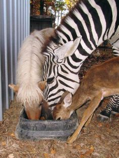 Pony, Zebra, and Deer eating from the same dish - photo from Rocky Ridge Refuge in North Arkansas, via Awesome Animals blog