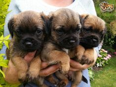 border terrier puppies | Sleaford, Lincolnshire | Pets4Homes