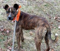 Say hello to your tiger-striped love bug! Carter is dressed to impress with his handsome brindle jacket and his white tipped tail that curls up over his back. He can be a bit strong on the lead but he is gentle with people and generous with his hugs. Carter is getting along swell with his roommate the charming young lady Tara but he may be just a bit too interested in cats. Male; 1 year old; Hound mix; 11/14; HW-