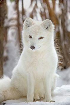 Petit renard blanc ..