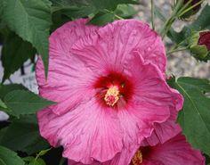 Hibiscus Summerific Berryliscious