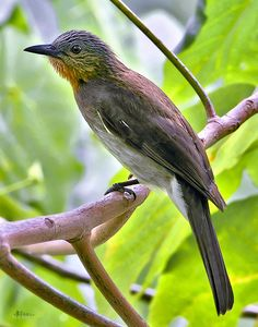 The Philippine Bulbul (Hypsipetes philippinus) is a songbird species in the bulbul family. It is endemic to the Philippines. Its natural habitats are subtropical or tropical moist lowland forests and subtropical or tropical moist montane forests.