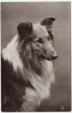 605 Best Puppy Love - Collies images in 2019 | Rough collie, Collie