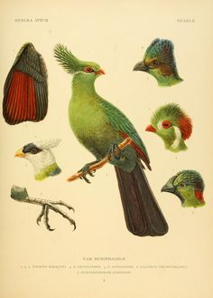 Genera avium / - Biodiversity Heritage Library | These showy Ethiopian parrots are unique in their ability to turn their outer toe completely backwards.