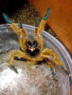 Angry tarantula