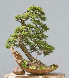 Picea Jezoensis                                                                                                                                                     More