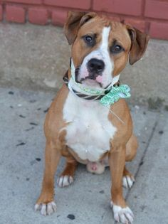 Brooklyn Center CHULA – A1039298 MALE, BROWN / WHITE, AMER BULLDOG MIX, 9 mos OWNER SUR – EVALUATE, NO HOLD Reason LLORDPRIVA Intake condition EXAM REQ Intake Date 06/08/2015