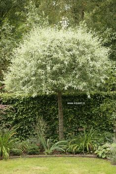 Pyrus salicifolia 'Pendula' (ornamental pear) #gardenshrubsfence