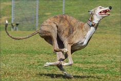 Brindle - That Goofy Greyhound Run by rachelhogue, via Flickr