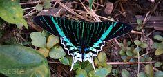 Amazon+Rainforest+Butterflies | tropical butterfly from amazon rainforest in Peru