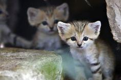 endangered sand kittens.