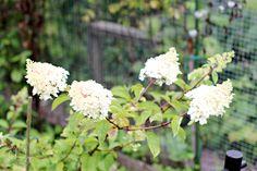 Oravankesäpesä    Syyshortensia Hydrangea paniculata 'Vanille Fraise'