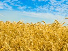 Wheat Fields