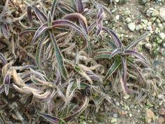 Cyanotis.somalensis - Commelinagewächse – Wikipedia