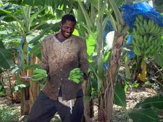This banana grower on St. Lucia, Eastern Caribbean, is proud of his crop. Caribbean, Banana, Bananas