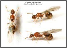 Temnothorax nylanderi reine 4.5mm Ant Species, Ants, Fascinator, Exotic, Photos, Bee, Sketching, Weird, Design