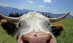 Cow up close in Pagosa Springs, CO