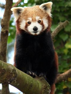 Red faced Panda!  These were always my favorite when I worked at the Zoo.