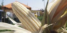 Cultivo de maíz 1ra. parte : .: Hydro Environment .: