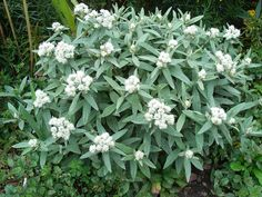 Anaphalis triplinervis 'Sommerschnee' : Grows on You Up to 3 ft, good flowers for drying or foliage contrast where too moist for other grey leaved plants Raised Garden Beds, Plants, Foliage, Green Garden, Amazing Flowers, Perennials, Garden Inspiration, Garden Plants, Perennial Garden