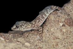 Salamanqueja del norte grande (Phyllodactylus gerrhopygus) región de Arica y Parinacota: Fotografía: Daniel Gomez-Lobo Fehling