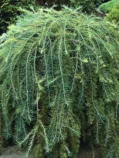 Weeping threadleaf arborvitae interesting reminds me of for Weeping evergreen trees for small gardens