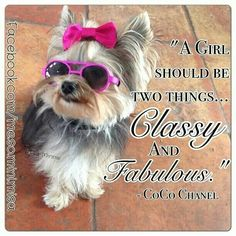 The post Yorkie Girl& Chanel Quote: & Girl should be two things& and Fabul& appeared first on Sellers Canines. Yorkies, Yorkie Puppy, Baby Yorkie, Biewer Yorkie, Cute Puppies, Cute Dogs, Dogs And Puppies, Poodle Puppies, Chien Yorkshire Terrier