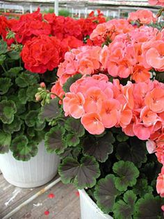 Geraniums/ATTRACTS: Monarch Butterflies. Plant with Grape Vines (perfect companion plant) which attracts Downy Woodpeckers. Can be planted in containers and hanging baskets (moss baskets). NEVER PLANT NEAR STRAWBERRIES! Plant in mass plantings. Keep away from Peonies, lily, Tulips, Roses, Fushia, Basil, Coleus and Tomatoes.