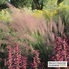 (Muhlenbergia Pink Flamingo) Pink Flamingo Muhly Grass is one of the most spectacular native grasses for its big size, thin evergreen leaves and bright pink flower plumes that cover the grass in late summer. A heat loving hybrid discovered in Texas.
