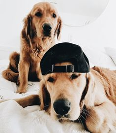 Astonishing Everything You Ever Wanted to Know about Golden Retrievers Ideas. Glorious Everything You Ever Wanted to Know about Golden Retrievers Ideas. Animals And Pets, Baby Animals, Funny Animals, Cute Animals, Cute Puppies, Cute Dogs, Dogs And Puppies, Doggies, Corgi Puppies