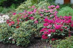 Jak začít s pěstování rododendronů a azalek