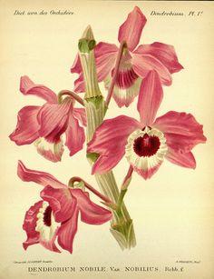Dendrobium Nobile var. Nobiliu :: Dictionnaire iconographique des orchidees : Bruxelles :Imp. F. Havermans, 1896-1907