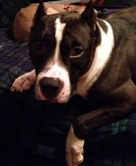 Meet Rockstar, a Petfinder adoptable Pit Bull Terrier Dog | Deforest, WI | Name: RockstarGender: MaleBreed: Pitbull TerrierMixed Breed: YesPrimary Color: BlackSecondary...