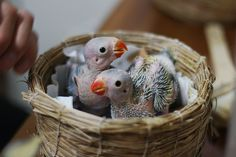 baby parrots, so bald.