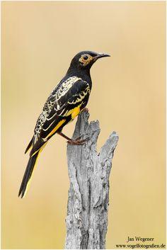 Birds ©: The Regent Honeyeater (anthochaera phrygia) is a critically endangered bird endemic to Australia. Kinds Of Birds, All Birds, Little Birds, Love Birds, Most Beautiful Birds, Pretty Birds, Animals Beautiful, Exotic Birds, Colorful Birds