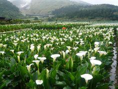 Calla Lily Festival Taiwan